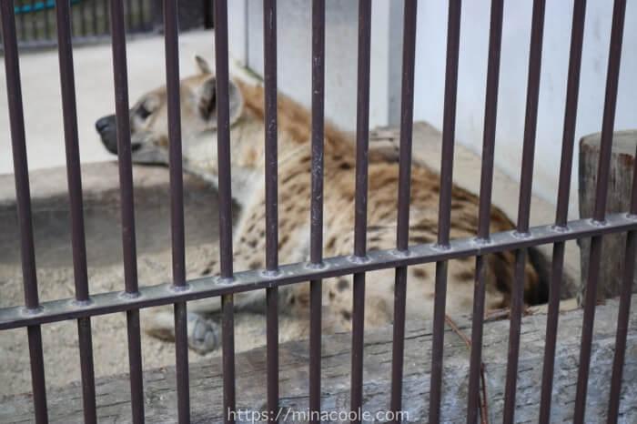 宇都宮動物園のブチハイエナ
