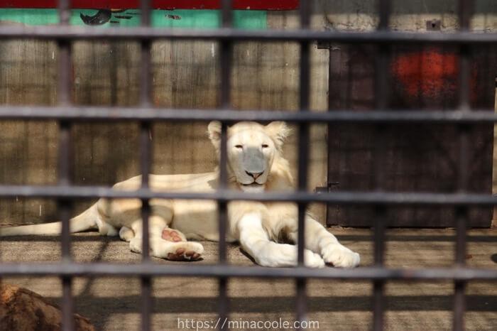 宇都宮動物園のホワイトライオン