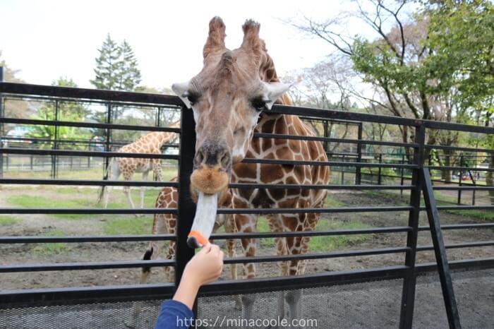 宇都宮動物園でキリンにエサをあげてるところ