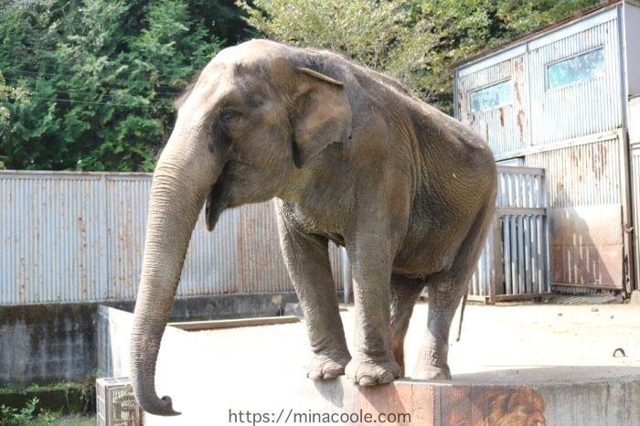 宇都宮動物園のアジアゾウ