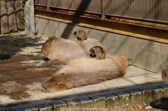 東武動物公園のカピバラとリスザル