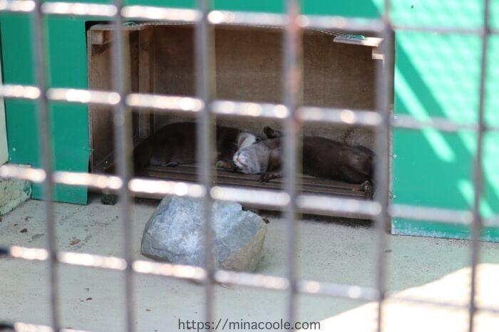 東武動物公園のコツメカワウソ