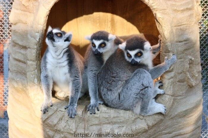 東武動物公園のワオキツネザル