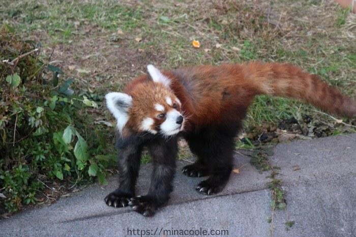 東武動物公園のレッサーパンダ