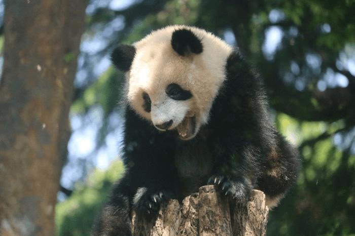 上野動物園のジャイアントパンダ「シャンシャン」がペロってしたところ