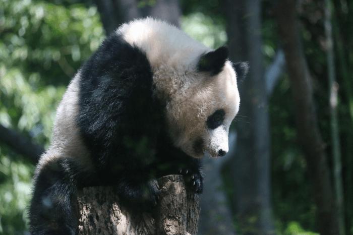 上野動物園の木の上にいるジャイアントパンダ「シャンシャン」