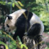 上野動物園パンダ「シャンシャン」観覧整理券の並び方と使い方