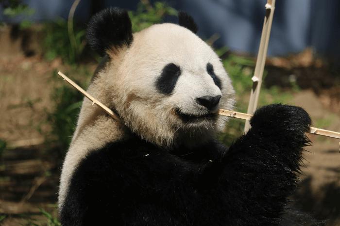 上野動物園のパンダが竹を食べてるところ