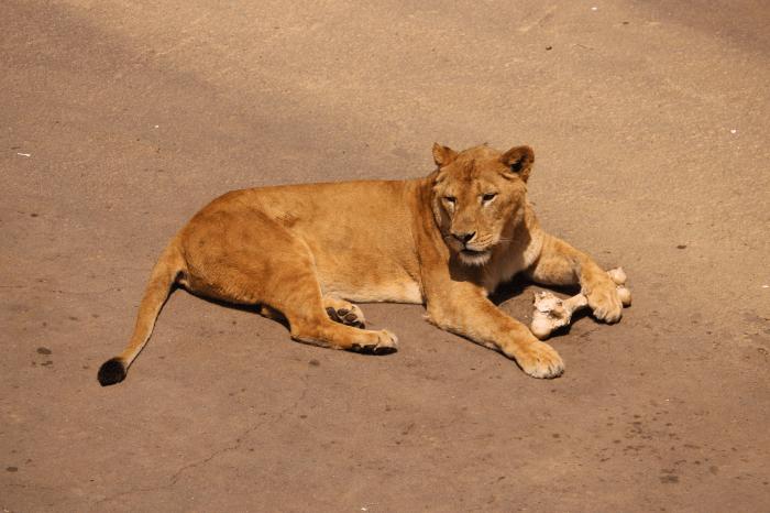 多摩動物公園のライオン