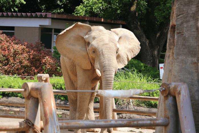 多摩動物公園のアフリカゾウ