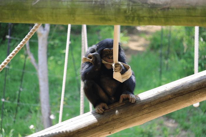 多摩動物公園のチンパンジー