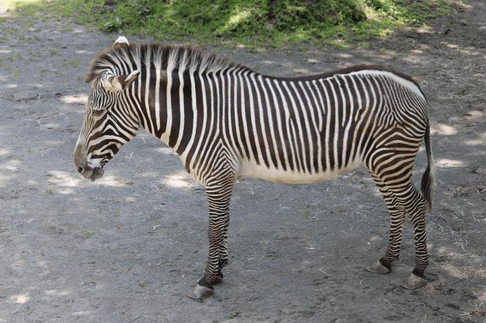 多摩動物公園のグレビーシマウマ
