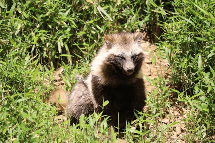 多摩動物公園のタヌキ