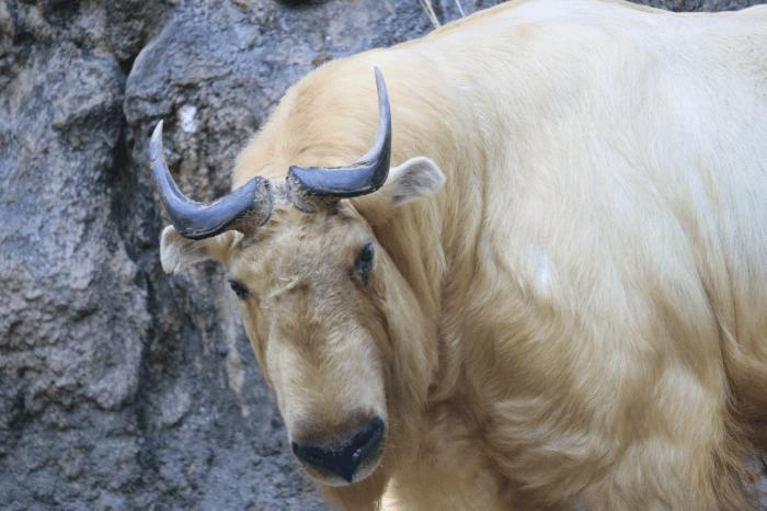 多摩動物公園のゴールデンターキン