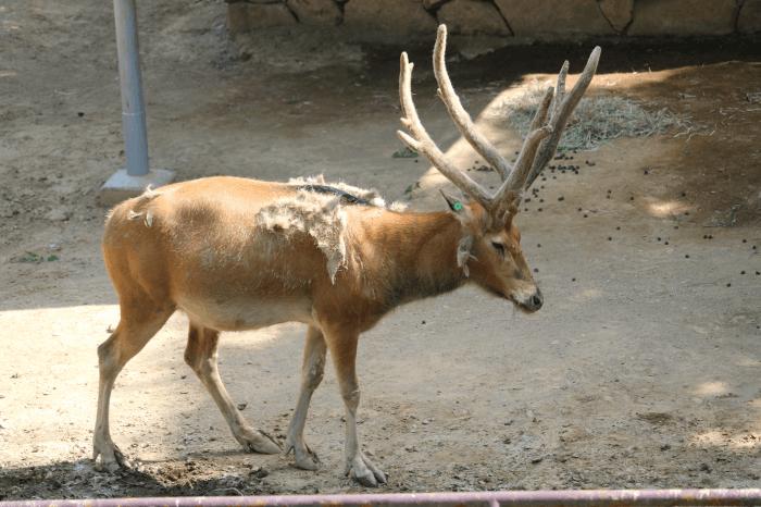 多摩動物公園のシフゾウ