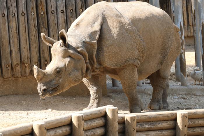 多摩動物公園のインドサイ