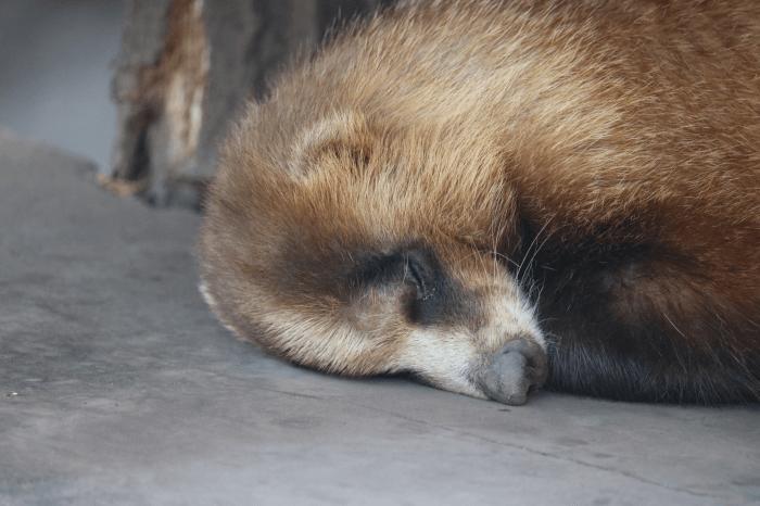 多摩動物公園のアナグマ