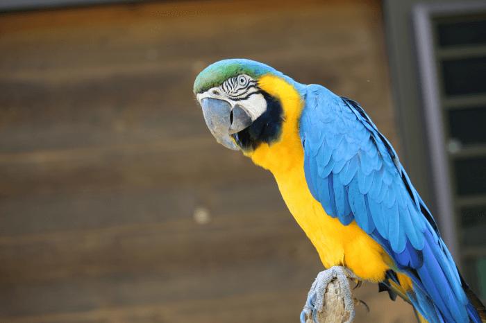 多摩動物公園のルリコンゴウインコ