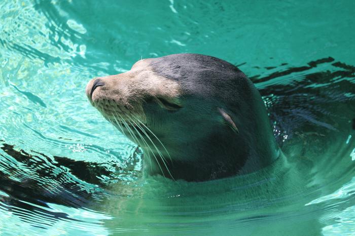 千葉市動物公園のカリフォルニアアシカ