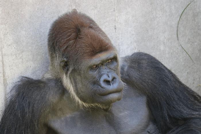 千葉市動物公園のゴリラ