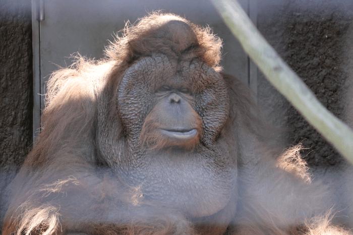 千葉市動物公園のオランウータン