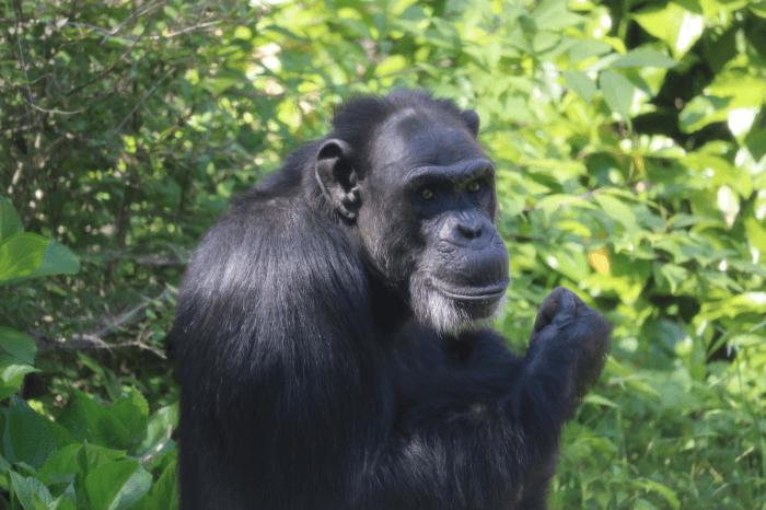 千葉市動物公園の踊るチンパンジーサンタ