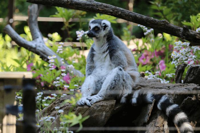 千葉市動物公園のワオキツネザル