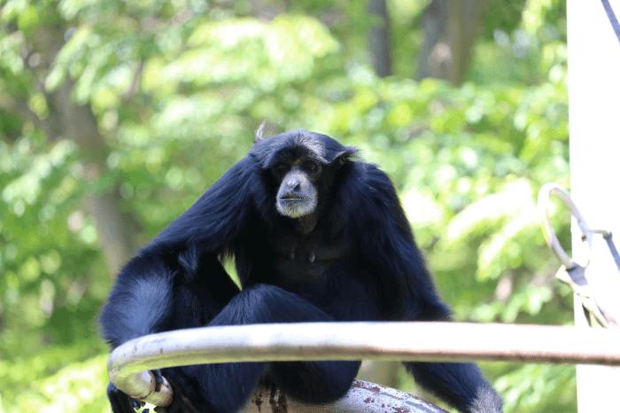 千葉市動物公園のフクロテナガザル