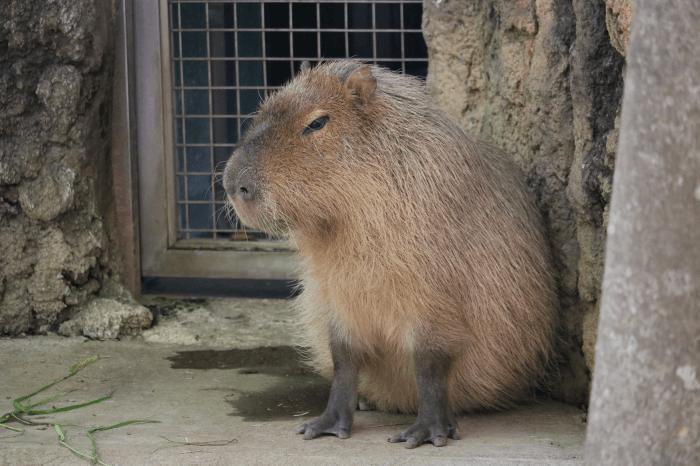 千葉市動物公園のカピバラ