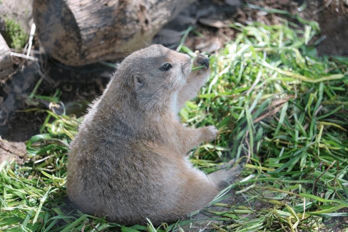 千葉市動物公園のオグロプレーリードッグ