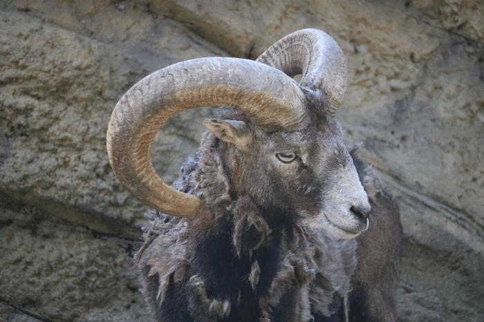 千葉市動物公園のヒツジ