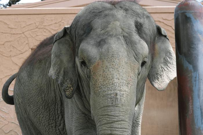 日立市かみね動物園のアジアゾウ