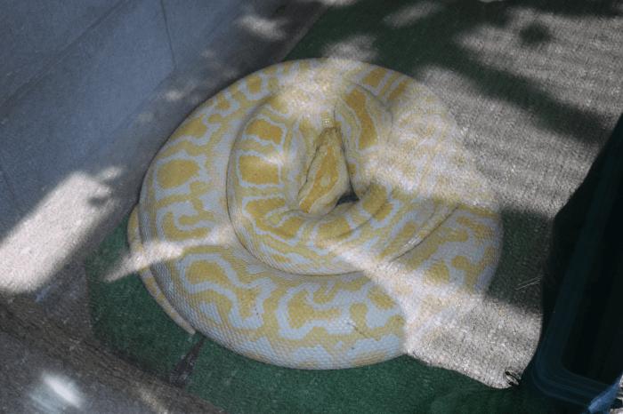 日立市かみね動物園のビルマニシキヘビ(アルビノ)