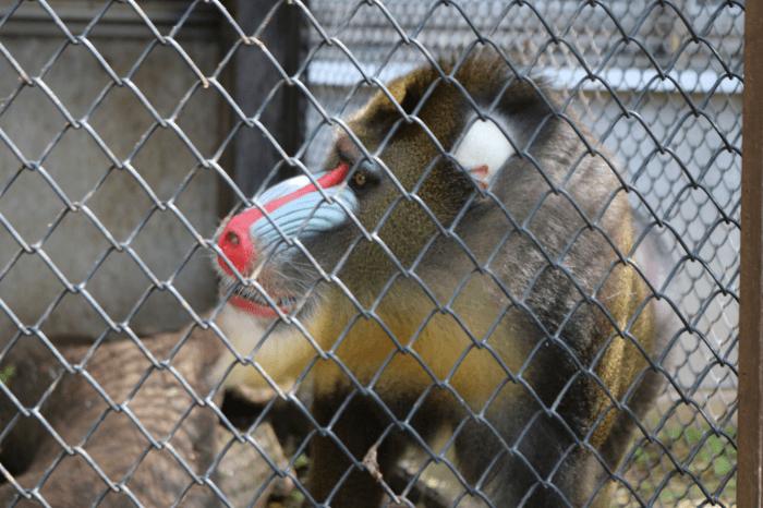 日立市かみね動物園のマンドリル