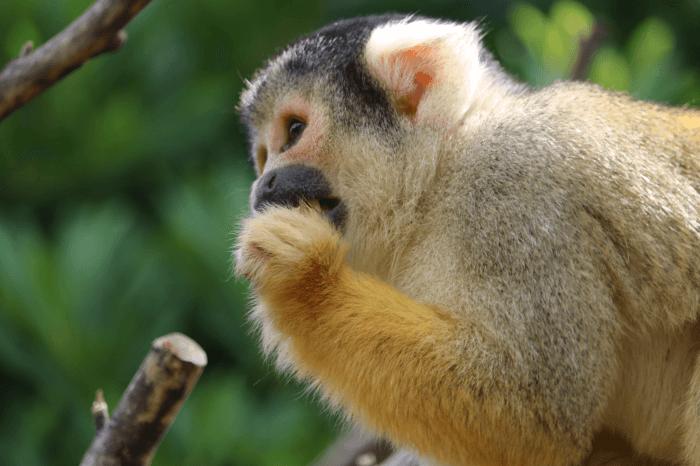 日立市かみね動物園のボリビアリスザル