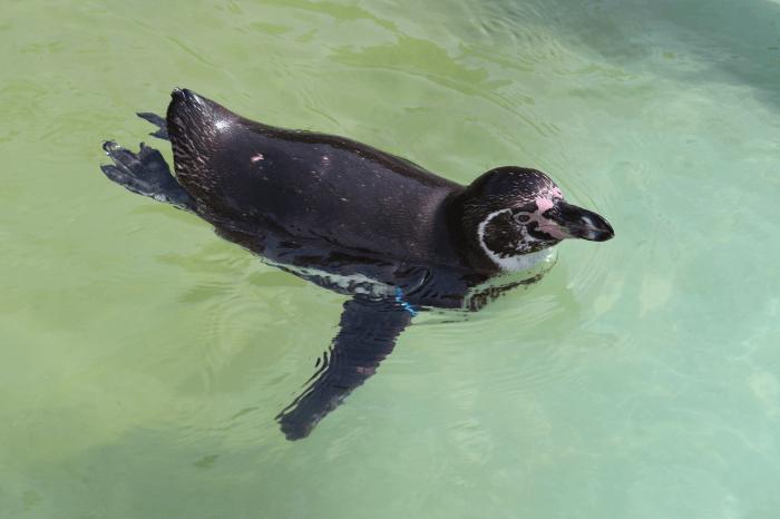 日立市かみね動物園のフンボルトペンギン