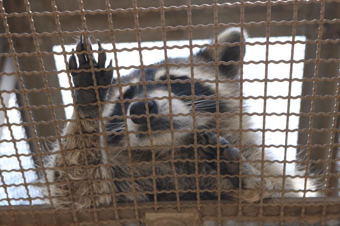 日立市かみね動物園のアライグマ