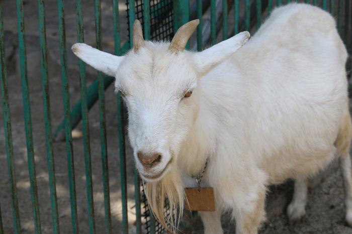 日立市かみね動物園のヤギ