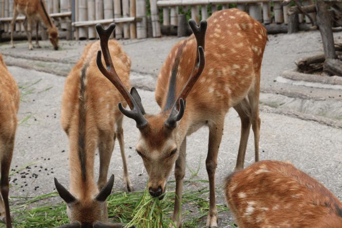 日立市かみね動物園のニホンジカ