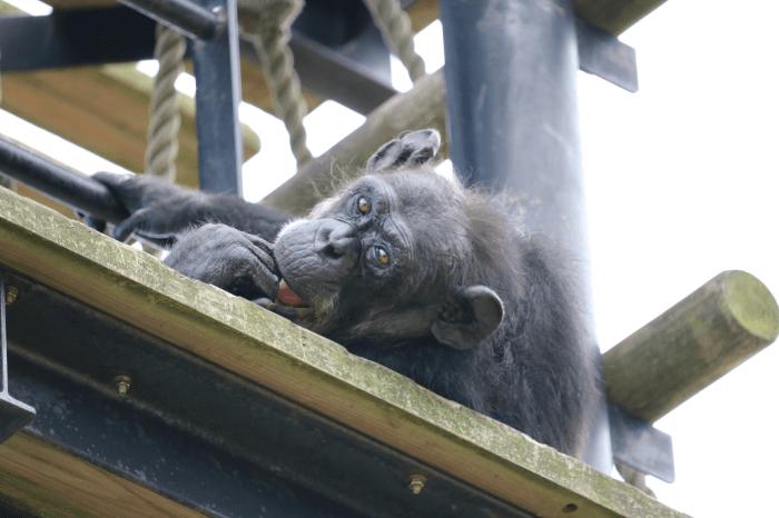 日立市かみね動物園のチンパンジー
