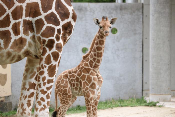 日立市かみね動物園のアミメキリン(赤ちゃんキリンのルリカ)