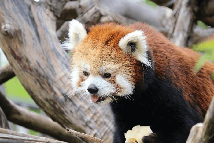 日立市かみね動物園のレッサーパンダ