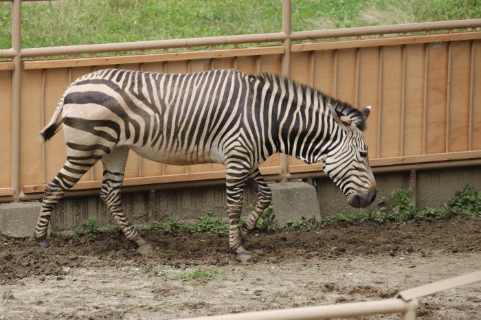 日立市かみね動物園のハートマンヤマシマウマ