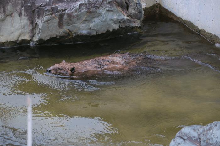 日立市かみね動物園のアメリカビーバー