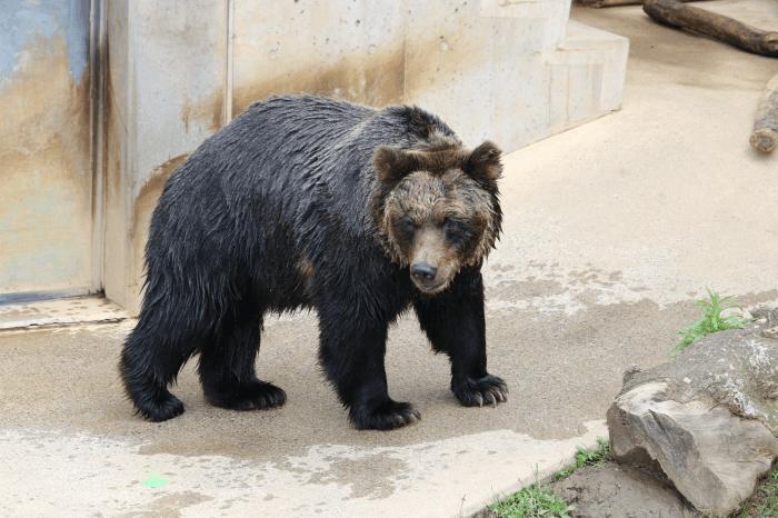 日立市かみね動物園のヒグマ