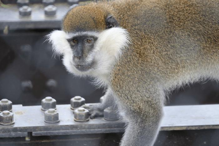日立市かみね動物園のサバンナモンキー