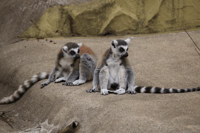 日立市かみね動物園のワオキツネザル