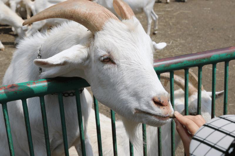 日立市かみね動物園でシバヤギにエサをあげるみなちゃん