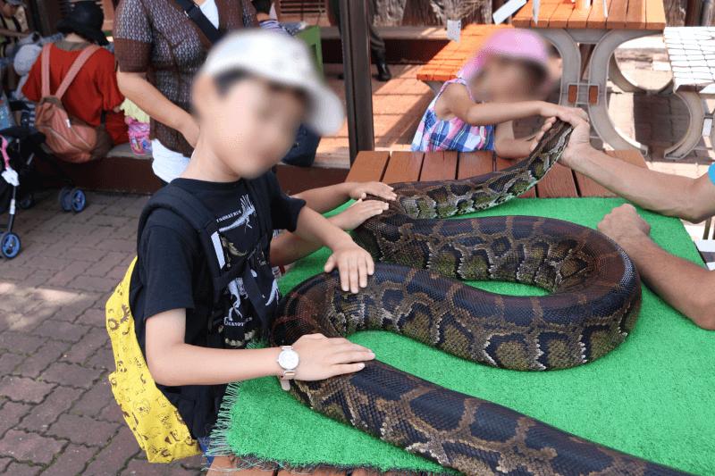 「ふれあい動物広場」のニシキヘビとふれあうくるくん
