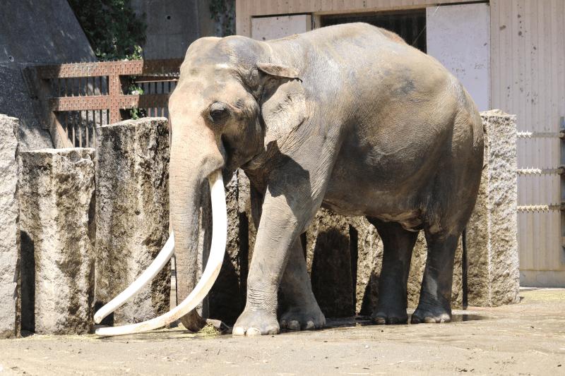 金沢動物園インドゾウのボンは日本国内最大のキバを持っている(体格も国内最大級)